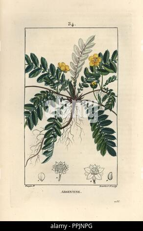 Silverweed or silver cinquefoil, Argentina anserina. Handcoloured stipple copperplate engraving by Lambert Junior from a drawing by Pierre Jean-Francois Turpin from Chaumeton, Poiret et Chamberet's 'La Flore Medicale,' Paris, Panckoucke, 1830. Turpin (17751840) was one of the three giants of French botanical art of the era alongside Pierre Joseph Redoute and Pancrace Bessa. - Stock Photo