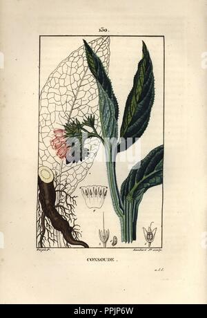Comfrey, Symphytum officinale, showing flower, leaf, and tuberous root. Handcoloured stipple copperplate engraving by Lambert Junior from a drawing by Pierre Jean-Francois Turpin from Chaumeton, Poiret et Chamberet's 'La Flore Medicale,' Paris, Panckoucke, 1830. Turpin (17751840) was one of the three giants of French botanical art of the era alongside Pierre Joseph Redoute and Pancrace Bessa. - Stock Photo