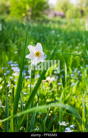 Narcissus poeticus or pinkster lily white flower in green grass. Beauty Poets daffodil growing in sunny day spring garden - Stock Photo