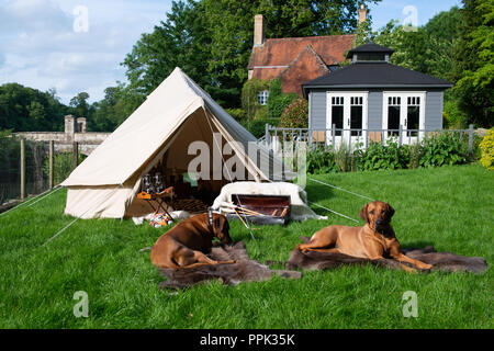 Two large dogs on rugs enjoying Luxury clamping in a canvas bell tent featuring a table with a bottle of scotch whisky and glasses. - Stock Photo