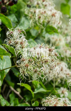 Clusters of feathered achenes clematis vitalba - Stock Photo