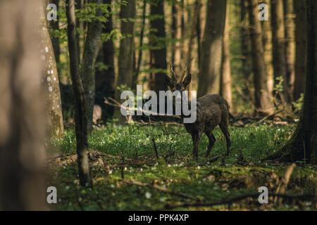 straight looking deer - Stock Photo