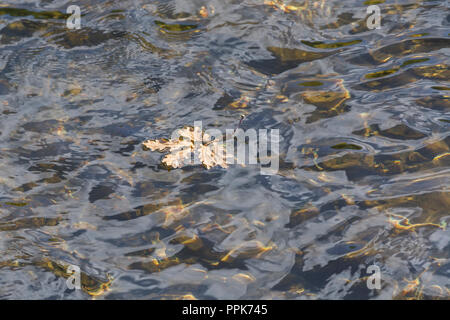 Autumnal Oak leaves being carried on the waters of the River Fowey in Cornwall. Floating in water concept, floating voter metaphor. - Stock Photo