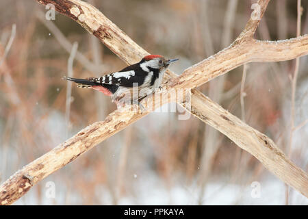 Middle spotted woodpecker (Dendrocoptes medius) sits on the crossed branches under the falling snow. - Stock Photo