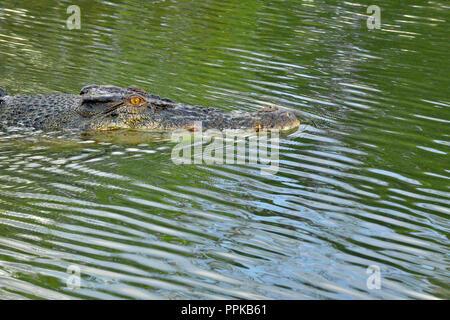 Crocodile swimming in East Alligator River, Kakadu, Top End, Northern Territory, Australia - Stock Photo