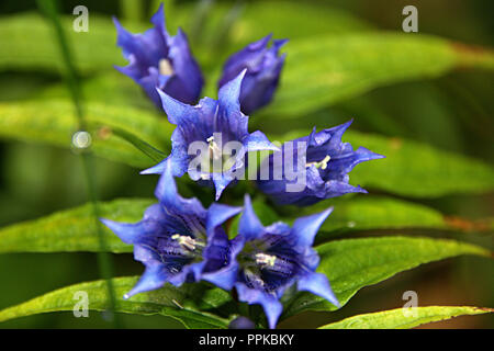 Macro focused wild flowers with green leaf and blurred background, beautiful petals colored with blue - Stock Photo
