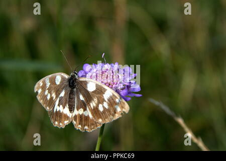 Black and white butterfly, stay on the blue flower and wait best photography shot, with blurred background - Stock Photo