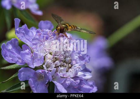 Close up of a blue Scabious flower head in the summer garden with a hoverfly landed on it in Lancashire, England, UK. - Stock Photo