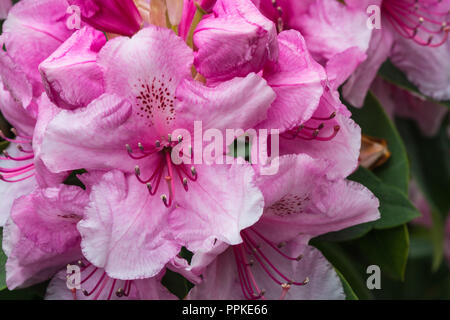 Close up of a large pink flower head of the heritage variety of Rhododendron, Pink Pearl, in the early summer garden, Lancashire, England, UK. - Stock Photo