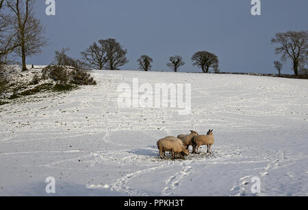 Beast from the East - view of sheep tracks over snowy field as sheep stand on small patch of available grass, Cumbria England UK, February 2018 - Stock Photo