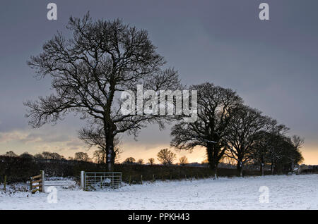 Beast From the East - line of oak  trees in hedgerow silhouetted against stormy evening sky after snowfall, Cumbrian farmland, winter, February 2018. - Stock Photo