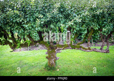 A heavily manicured apple tree in a walled garden - Stock Photo