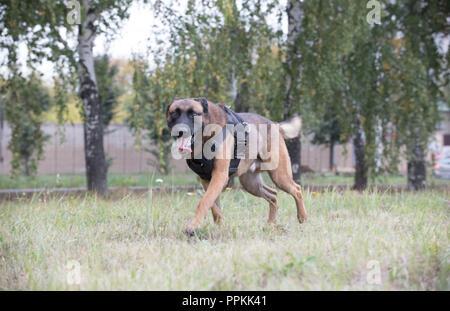 Big trained german shepherd dog running on a field - Stock Photo