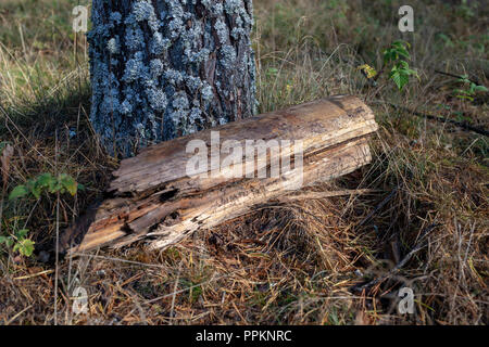 Logs of wood in the forest. An old piece of wood on the grass. Season of the autumn. - Stock Photo