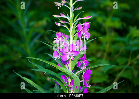 Top of the flowers blooming sally. Ivan-Tea - Stock Photo