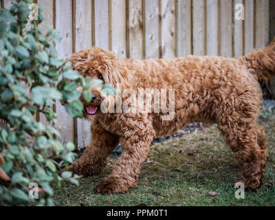 Red haired Cockapoo dog at play in a garden setting - Stock Photo