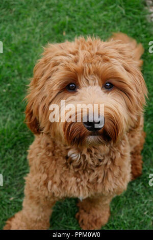 Red haired Cockapoo dog at play in a garden setting looking at camera - Stock Photo