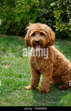 Red haired Cockapoo dog resting after play in a garden setting - Stock Photo