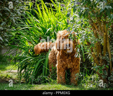 Red haired Cockapoo dog at play in a garden setting hiding amongst plants and bushes - Stock Photo