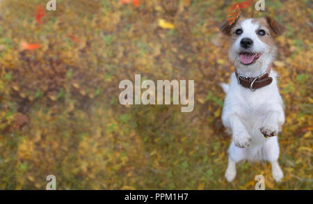 BANNER OF A PORTRAIT CUTE JACK RUSSELL DOG STANDING ON TWO LEGS  ON BROWN AND YELLOW AUTUMN BACKGROUND - Stock Photo