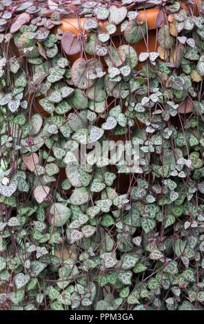 Ceropegia woodii. String of Hearts foliage - Stock Photo