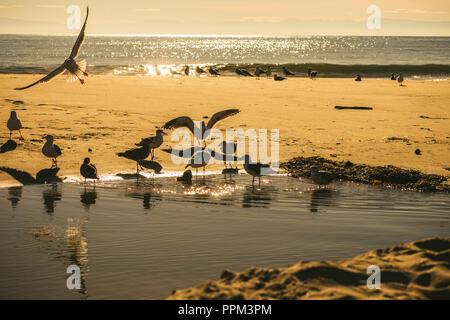 Large Group of Seagulls on a Golden Sandy Beach, at Sunrise, on Santa Cruz Beach, California - Stock Photo