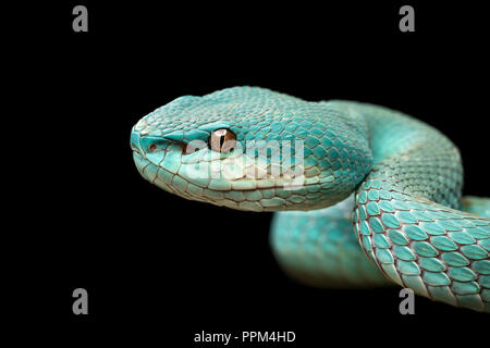 Trimeresurus insularis /  White-lipped island pit viper - Stock Photo