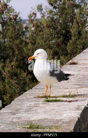 Seagull close shot and resting on dock. Seagull standing on a stone wall and rest with pine forest is a beautiful natural environment. - Stock Photo