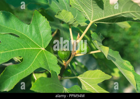 Green figs on the tree in garden - Stock Photo