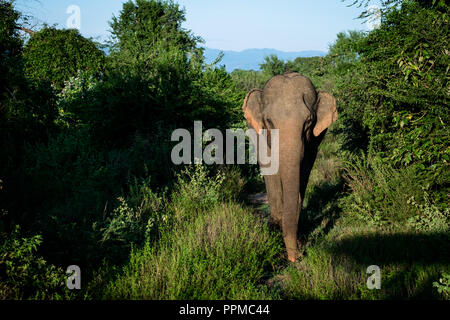 front of a single asian elephant - Stock Photo