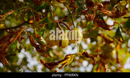 Branch of a horse chestnut tree in autumn. Sunlit fall foliage discoloration. - Stock Photo