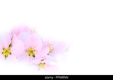 The branch of white and pink apple flower blossom on white background, copy space - Stock Photo