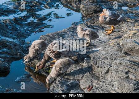 A brood of Steamer duck and her chicks. - Stock Photo