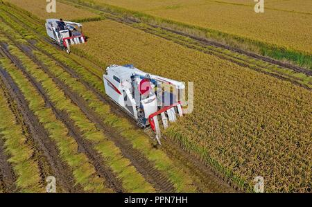 Shijiazhuang. 26th Sep, 2018. Aerial photo taken on Sept. 26, 2018 shows farmers driving agricultural machinery to harvest rice in the field in Wangtan Township of Tangshan, north China's Hebei Province. Credit: Yang Shiyao/Xinhua/Alamy Live News - Stock Photo