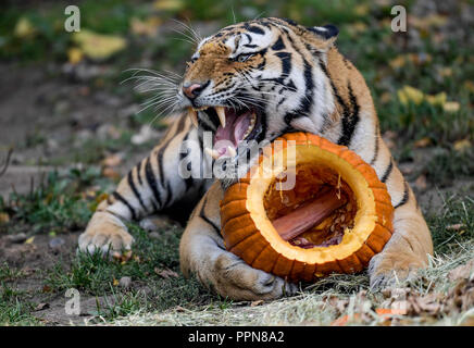 Hamburg, Germany. 27 September 2018, Hamburg: A Siberian tiger, also called Amur tiger, has secured a pumpkin filled with meat for Hagenbeck's zoo in his enclosure. Siberian tigers are the biggest cats in the world. Photo: Axel Heimken/dpa Credit: dpa picture alliance/Alamy Live News - Stock Photo