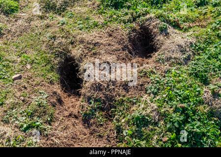 Manx Shearwater burrows on Skomer Island, Pembrokeshire, Wales - Stock Photo