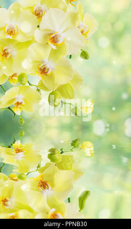Beautiful yellow phalaenopsis orchid flowers with butterfly on the blurred abstract natural yellow-green background with reflection in a water surface - Stock Photo