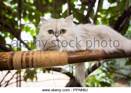White and grey Persian Cat lying on bamboo perch looking at camera with big green eyes - Stock Photo
