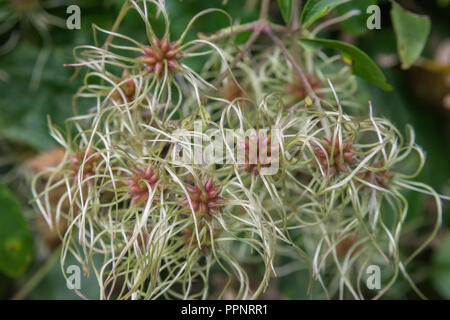 Forming seeds of Traveller's Joy / Old Man's Beard / Wild Clematis - Clematis vitalba - in a Cornish hedgerow. Parts used in herbal medicine. - Stock Photo