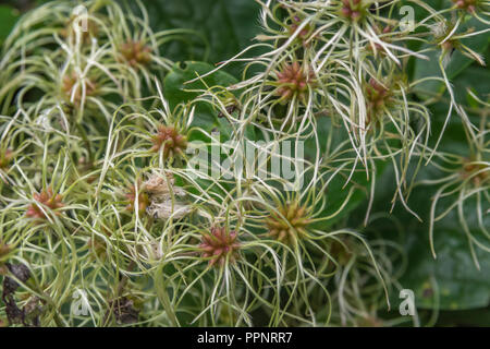 Forming seeds of Traveller's Joy / Old Man's Beard - Clematis vitalba -  in a Cornish hedgerow. Parts used as medicinal plant in herbal remedies. - Stock Photo