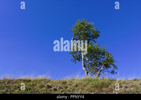 Solitary birch tree on a grassy ridge with clear blue sky - Stock Photo