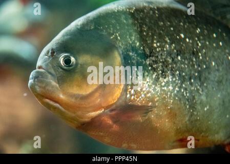 Red piranha (Pygocentrus nattereri) at the Georgia Aquarium in downtown Atlanta, Georgia. - Stock Photo