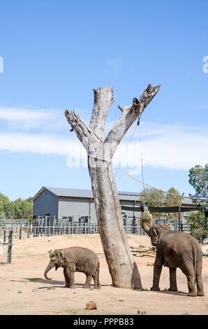 A female elephant with young feeding at Taronga Western Plains Zoo, Dubbo NSW Australia. - Stock Photo