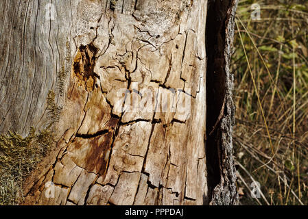 Old tree trunk stripped of its bark with cracks and stains in the evening sun - Stock Photo