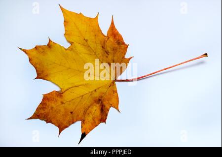 Herbstblatt, Spitzahorn - Stock Photo