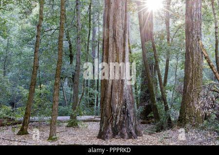 Redwood Tree Grove Sun Beams. - Stock Photo