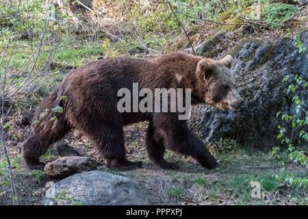 Brown bear on roams his territory, Germany - Stock Photo