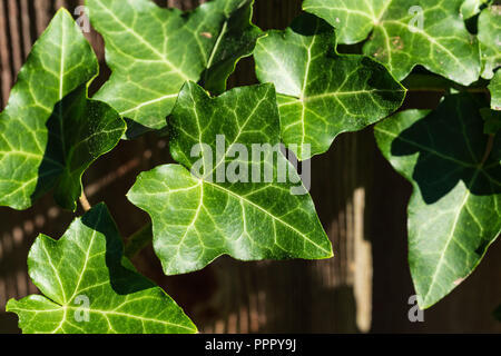 a close up of ivy growing on a fence - Stock Photo