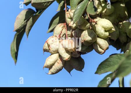 Golden Rain Tree, Koelreuteria paniculata unripe see pods - Stock Photo