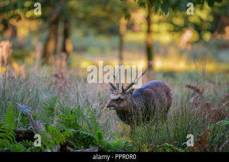 Sika deer,  Cervus nippon, feeding  on wooded parkland in Kent on an autumn morning - Stock Photo